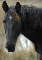 Turijn (Saparevo) Tags: horses horse caballo cheval cavallo pferd chevaux paard paarden pferden kwpn impressedbeauty