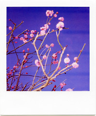 It might as well be spring (masaaki miyara) Tags: pink flower japan polaroid spring feb ume slr680 2010 japaneseplum  1 600film     miyara argylestreettearoom  itmightaswellbespring