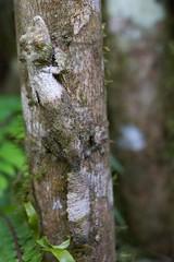 taking camouflage to a new level (skinnydiver) Tags: nature forest rainforest reptile wildlife lizard jungle gecko chameleon madagascar ranomafana uroplatus
