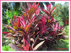 Beautiful specimen: Cordyline terminalis/C. fruticosa or Ti Plant, Hawaiian Ti (pink/maroon/green)