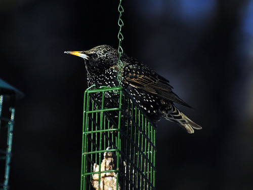 starling eating suet