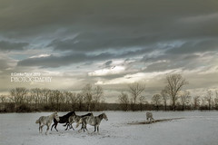 Horses in Winter (pavel conka) Tags: winter sky horses horse snow animals clouds canon eos czechrepublic zima 2010 kon mraky obloha snih kladruby k oldkladruby pavelconka