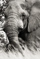 Afrique du Sud-20090614_IGP0821 (orang_asli) Tags: africa elephant nature animals southafrica mammal nationalpark champs fields elefant cochon imfolozi lieux afrique mammifère aficionados faune bushveld naturel afriquedusud savane parcnational géographie mammifre elephantdafrique gžographie