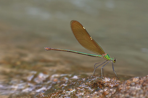 Damselfly - Neurobasis chinensis (Female)