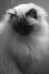 Zoé (Algom@) Tags: cats monochrome cat de chats chat noiretblanc gato sacred katze mes gatto sacré birman birmans sagrado birmanie sacredcatofburma blackandwithe purebredcat sacredbirman birmania sacrés sacrésdebirmanie