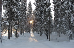 Motljus / Direct light (HJsfoto) Tags: voyage winter travelling forest vinter skog february 2021 spruces reise boden februari potofgold northsweden beautifulphoto granar almostanything