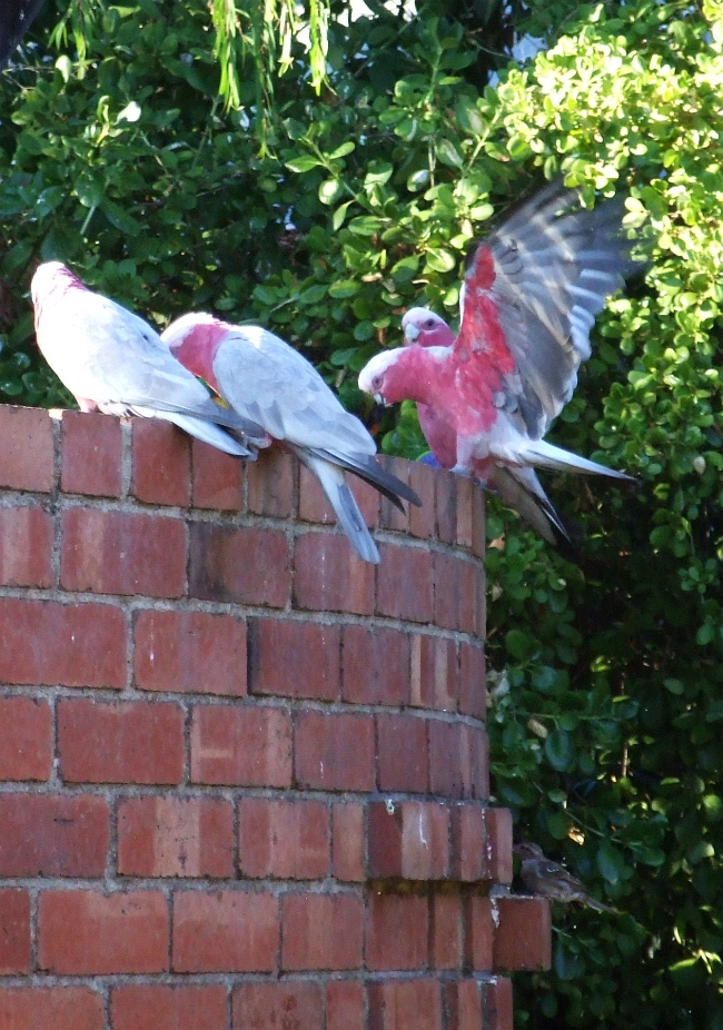 galah wingspread