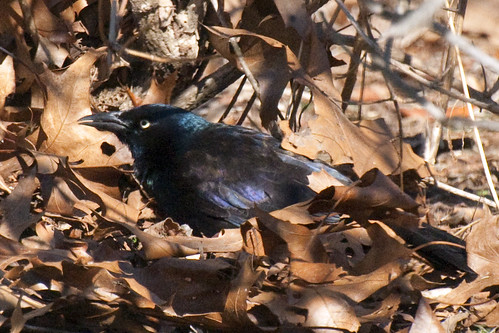 grackle littered with leaves