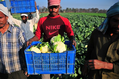 Workers in Punjab pick and pack cauliflower.