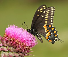 Black Swallowtail (DrPhotoMoto) Tags: butterfly thistle ngc northcarolina blackswallowtail richmondcounty papiliopolyxenes colorphotoaward