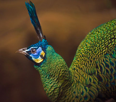 Green Peafowl Profile (aeschylus18917) Tags: bird nature japan zoo tokyo nikon wildlife peacock aves   nikkor peafowl pavo uenozoo 105mm 105mmf28 phasianidae greenpeafowl galliformes 105mmf28gvrmicro pavomuticus  d700 nikkor105mmf28gvrmicro onshiuenodbutsuen danielruyle aeschylus18917 danruyle druyle