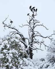 Vultures (Shutter_Hand) Tags: usa snow bird texas sony nieve nevada jardin pssaro vultures ave botanico vulture pajaro alpha aus oiseau secretgarden zopilote vogel pjaro buitre buitres uccello  weatherford  mineralwells a700 botanicalpark jardinbotnico  jardinsecreto parquebotnico  miguelmendoza clarkgardens lenscraft texasgem texasjewel carlzeissvariosonnartdt1680mmlens