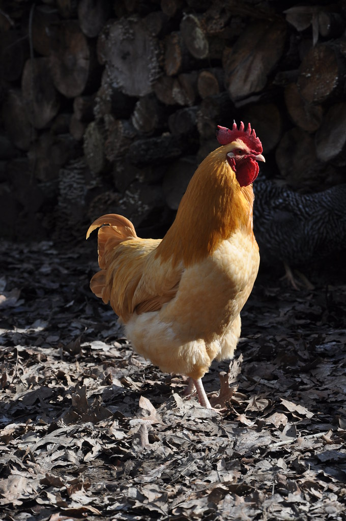 Buff Orpington Rooster_1