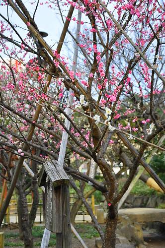 梅屋敷の梅