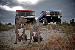 Pitbulls and Trucks (Banawa Photography) Tags: dog ford beach florida pickup tires trucks paws xxl pensacola perdido pitbulls moster