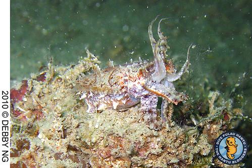 cuttlefish 7