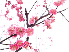 variations of ume blossoms #31 (Kitano-tenmangu shrine, Kyoto) (Marser) Tags: flower japan kyoto shrine raw ume  lightroom  grd grd3 grdigital3