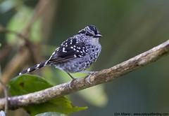 Scaled Antbird - Drymophila squamata