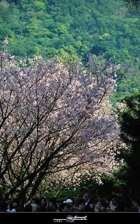 Sakura sunny 11