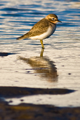 Double-banded Plover - ID check pls