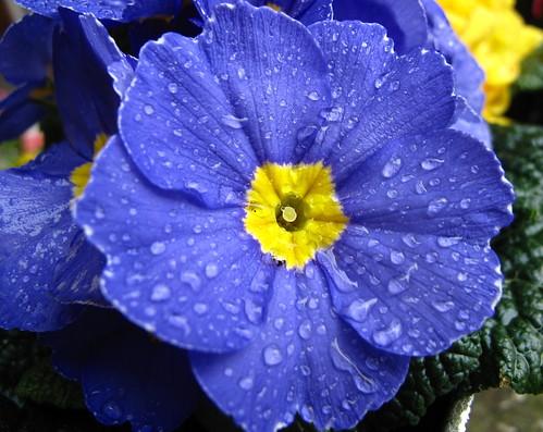 Primula (springtime)