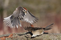 Who's the boss? (naturelover2007) Tags: bird nature fauna fight flight sparrow birdwatcher treesparrow behaviour topshot faunainmotion