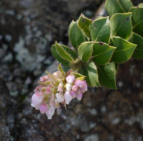 san bruno mtn manzanita - arctostaphylos imbricata