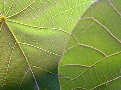 Macaranga Tanarius (YAZMDG (15,000 images)) Tags: plants verde green leaves forest australia vert nsw feuilles euphorbiaceae hinterland macaranga rainbowregion goonengerry yazminamicheledegaye northernriversspecies