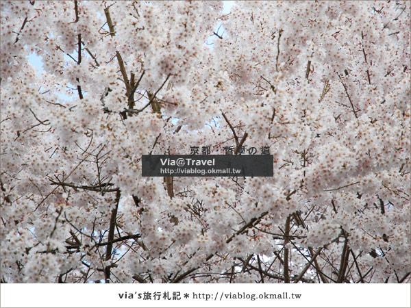 【via關西賞櫻行】京都賞櫻景點~哲學之道16