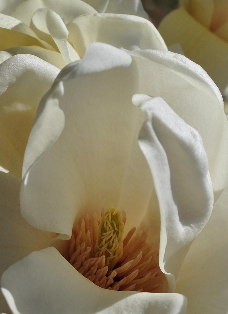 Magnolia denudata 9
