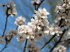 Red Leaf Plum Tree Blooms (MoGov) Tags: trees spring plumtree