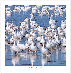 Bath Time (Imapix) Tags: bird nature animal oiseau onblue snowgeese gaetanbourque oiesblanches