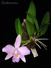 Cattleya Dandenburg Mini