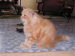 P9210323 (AMNOOR) Tags: cat kucing persiancat kucingparsi