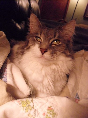 white bunny bed pretty sitting gray greeneye mainecoon