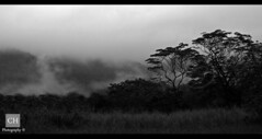 Misty Morning (charithra Hettiarachchi) Tags: morning mist mountain tree grass eos australia queensland l black white 24105mm canon 7d is cape tribulation charithra hettiarachchi