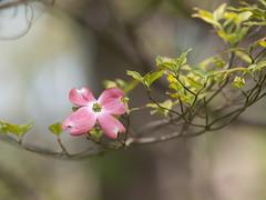 Cornus florida 'Cherokee Sunset' (--ki---) Tags: dc washington arboretum dogwood usna cornus