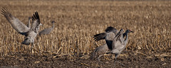 100404_Sandhill Cranes_2286 (Lynnette_) Tags: migration vogonpoetry birdssandhill cranesnebraskaspringspring birdssandhillcranesnebraskaspringspringmigration