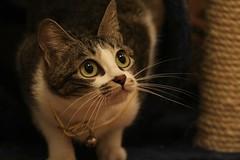 虎視眈眈.....staring (Rosanna Leung) Tags: pet animal cat kitten wah 動物 寵物 貓 華 貓咪 wahwah 華華