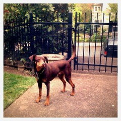 Welcome to Flickr Hive Mind. If you log into Flickr you will see your ...  Vizsla Oregon