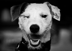 Clin d'Oeil ... (florianleroy) Tags: wallpaper blackandwhite bw favorite dog chien art monochrome animal canon magazine eos photo blog interestingness interesting raw photographie noiretblanc photos top background explorer journal creative picture first nb explore article 7d backgrounds fav 1001nights press frontpage exclusive clindoeil reportage forblog twop blogline couverture presse dressage exceptionnel intressant exceptionnelle exclu awart marrante eos7d indite recherche florianleroy flickraward todaysbest fanfan2145 premirepage