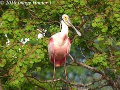 Roseate Spoonbill (Image Hunter 1) Tags: pink nature birds louisiana bayou swamp greenery marsh spoonbill roseatespoonbill birdslouisiana panasonicfz35 raynox2025hd22x