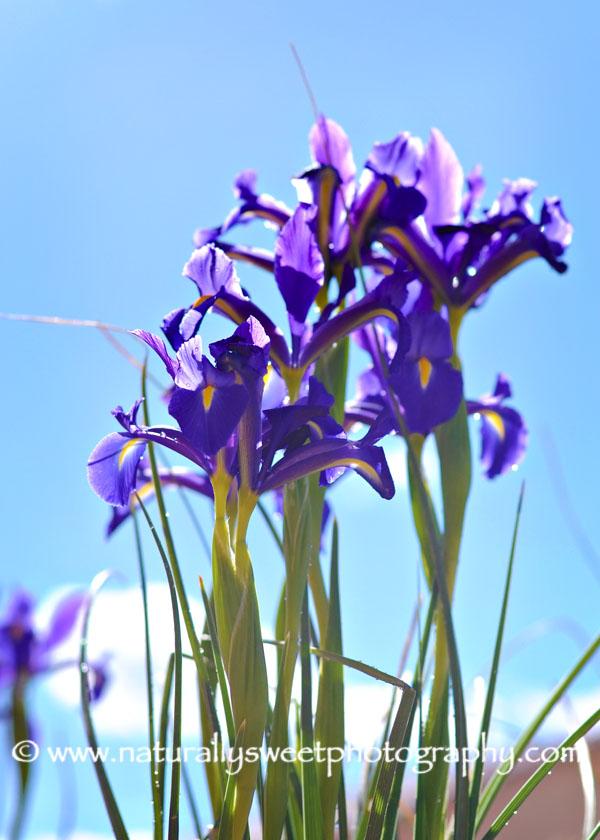 Iris 1 rs
