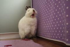 Coco (RosyBunny) Tags: cute rabbit bunny dwarf yawn adorable himalayan
