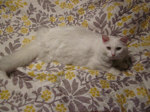Nilla on my bed. 6