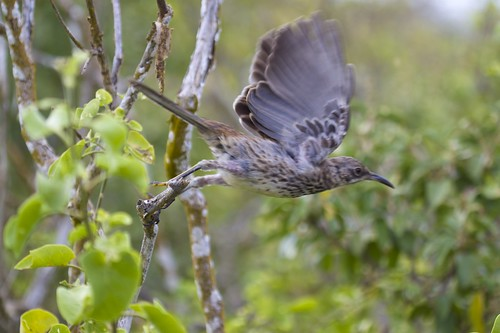 Española or Hood Mockingbird (Nesomimus macdonaldi) In Flight