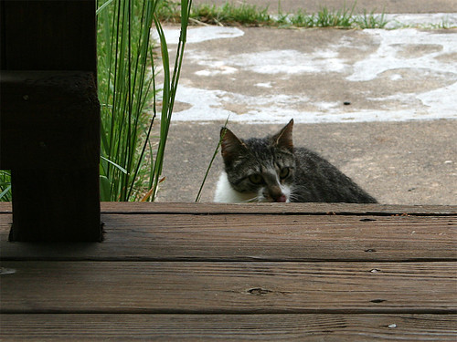 A young tabby and white cat peers over a step at the photographer.