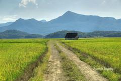 Rice fields in Massaranduba, SC, Brasil