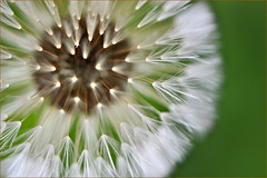 Fuzzy I (HannyB) Tags: white macro green interestingness fuzzy 100v10f dandelion fp flickrsbest 30faves30comments300views 50faves50comments500views worldsbestnikonshot weedofthedaisyfamily