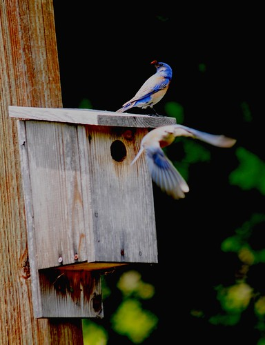 bluebirds, brian murphy
